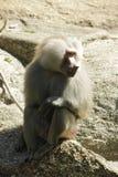 Ciérrese encima de la foto del babuino que se sienta imagenes de archivo