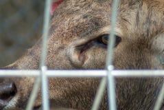 Ciérrese encima de la foto del ojo masculino del ` s de los ciervos a través de la jaula del alambre en el parque zoológico Fotografía de archivo libre de regalías
