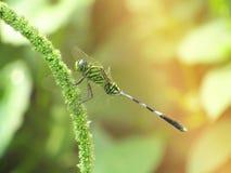 Ciérrese encima de la foto de la libélula en el fondo verde goldy borroso foto de archivo libre de regalías