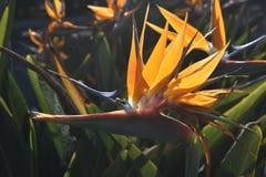 Ciérrese encima de la foto de una abeja en una flor de la ave del paraíso Foto de archivo libre de regalías