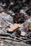 Ciérrese encima de la hoja de arce muerta absolutamente anaranjada del roble de la O.N.U en color selectivo en la tierra del bosq Imagen de archivo