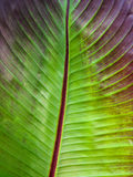 Ciérrese encima de la hoja con hojas roja del plátano Foto de archivo libre de regalías