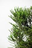 Ciérrese encima de la hoja del árbol de pino en el fondo blanco fotos de archivo libres de regalías