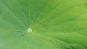 Ciérrese encima de la hoja del verde del loto Fotos de archivo