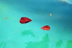 Ciérrese encima de la hoja roja seca en el agua fotos de archivo