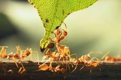 ciérrese encima de la hormiga roja del trabajo en equipo que se coloca con la hoja Fotografía de archivo libre de regalías