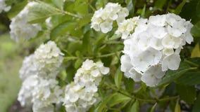Ciérrese encima de la hortensia blanca Imágenes de archivo libres de regalías