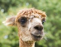 Ciérrese encima de la imagen de la alpaca Fotografía de archivo