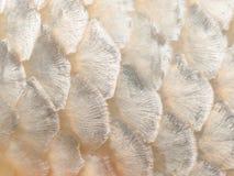 Ciérrese encima de la imagen de la escala de pescados Imagenes de archivo