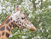 Ciérrese encima de la imagen de la jirafa Fotos de archivo