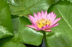 Ciérrese encima de la imagen del rosa waterlily Foto de archivo libre de regalías