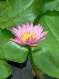 Ciérrese encima de la imagen del rosa waterlily Imagenes de archivo