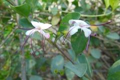 Ciérrese encima de la imagen de flores blancas atractivas hermosas se emparejan con el filamento violeta Fotos de archivo