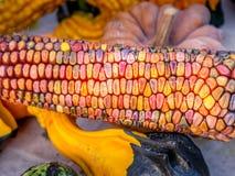 Ciérrese encima de la imagen de las mazorcas de maíz coloridas imagen de archivo