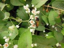 Ciérrese encima de la imagen macra de la abeja de la miel en la flor de fascinación Foto de archivo libre de regalías