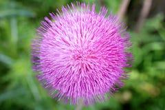 Ciérrese encima de la imagen macra del flor de la flor de la planta del cardo de leche Foto de archivo