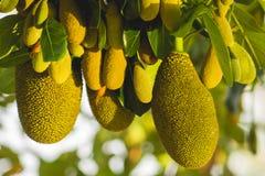 Ciérrese encima de la Jack-fruta Foto de archivo