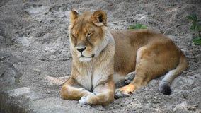 Ciérrese encima de la leona que descansa sobre la tierra almacen de video
