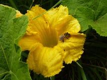 Ciérrese encima de la macro de la abeja en la flor de la calabaza Imagenes de archivo