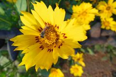 Ciérrese encima de la macro de la abeja de la miel en la flor amarilla lucrativa con los remiendos rojos Fotografía de archivo
