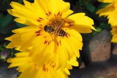 Ciérrese encima de la macro de la abeja de la miel en la flor amarilla lucrativa con los remiendos rojos Imagenes de archivo