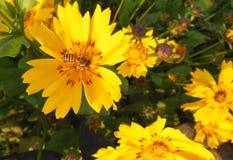 Ciérrese encima de la macro de la abeja de la miel en la flor amarilla lucrativa con los remiendos rojos Fotos de archivo