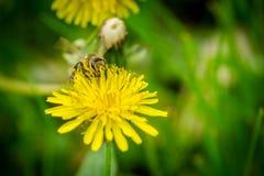 Ciérrese encima de la macro de la abeja que recoge el polen en dande amarillo floreciente Fotos de archivo