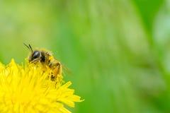 Ciérrese encima de la macro de la abeja que recoge el polen en dande amarillo floreciente Imagenes de archivo