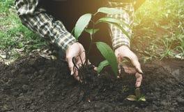 Ciérrese encima de la mano del hombre que planta en árboles de mango jovenes en ะhe foto de archivo libre de regalías