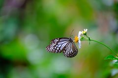 Ciérrese encima de la mariposa que chupa el néctar de las flores fotografía de archivo