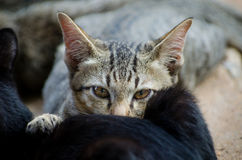 Ciérrese encima de la mirada del gato. Fotos de archivo