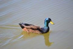 Ciérrese encima de la natación masculina del pato del pato silvestre de la foto en un lago imágenes de archivo libres de regalías