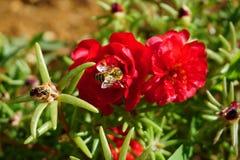 Ciérrese encima de la opinión la abeja en el top de las flores Portulaca grandiflora Fotos de archivo libres de regalías