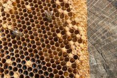 Ciérrese encima de la opinión la abeja de trabajo en el panal con el hon dulce Imagenes de archivo