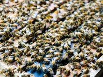 Ciérrese encima de la opinión abejas de trabajo Foto de archivo