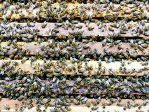 Ciérrese encima de la opinión abejas de trabajo Foto de archivo libre de regalías