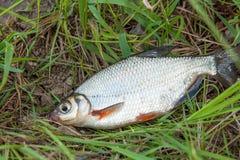 Ciérrese encima de la opinión la brema blanca del signle o los pescados de plata en el na Fotografía de archivo libre de regalías