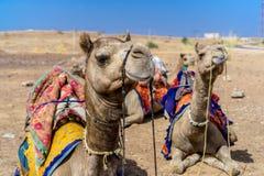 Ciérrese encima de la opinión camellos Fotos de archivo libres de regalías