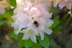 Ciérrese encima de la opinión el abejorro aislada en la flor rosa clara del rododendro Fondo asombroso de la naturaleza Imagenes de archivo