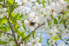 Ciérrese encima de la opinión el abejorro que cosecha el polen de Cherry Blossom Fotos de archivo libres de regalías