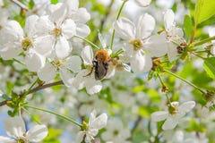 Ciérrese encima de la opinión el abejorro que cosecha el polen de Cherry Blossom Imagen de archivo libre de regalías