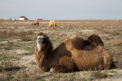 Ciérrese encima de la opinión el camello two-humped de mentira en el fondo de un pueblo en la estepa seca del Kazakh Fotografía de archivo libre de regalías