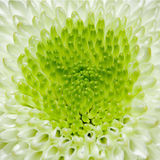Ciérrese encima de la opinión el wihte y la margarita verde Fotos de archivo libres de regalías
