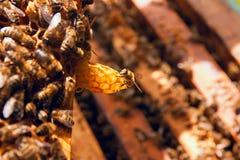 Ciérrese encima de la opinión la abeja de trabajo en el panal Foto de archivo