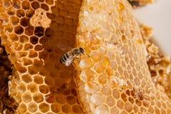 Ciérrese encima de la opinión la abeja de trabajo en el panal con el hon dulce Fotos de archivo libres de regalías