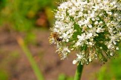 Ciérrese encima de la opinión la abeja de trabajo en la flor Imágenes de archivo libres de regalías