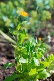 Ciérrese encima de la opinión la maravilla anaranjada de los officinalis del Calendula Imagen de archivo libre de regalías