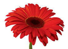 Ciérrese encima de la opinión la margarita roja Imagen de archivo libre de regalías