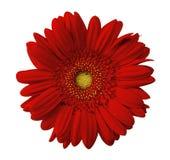 Ciérrese encima de la opinión la margarita roja Imágenes de archivo libres de regalías
