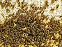 Ciérrese encima de la opinión las abejas de trabajo Imagenes de archivo
